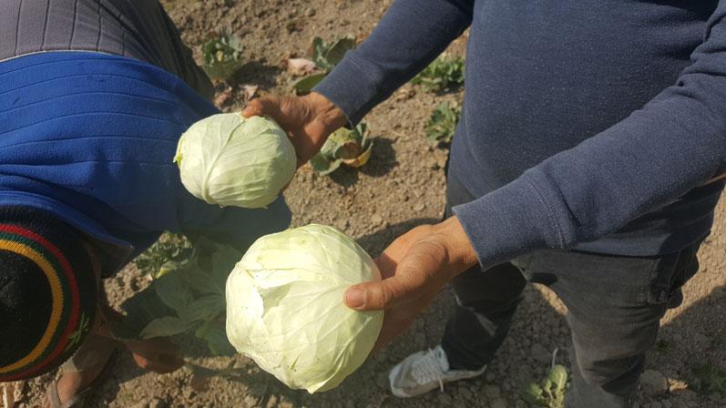 Green Little Fingers, harvest, Katnhmandu,